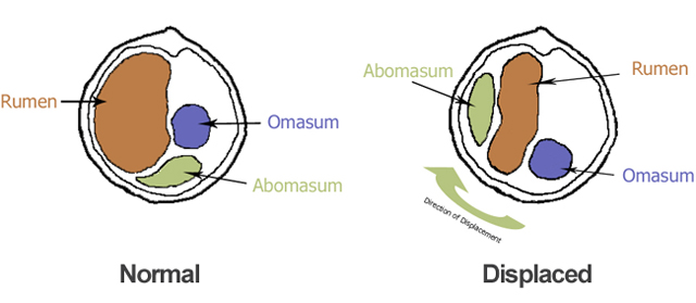 displaced abomasum